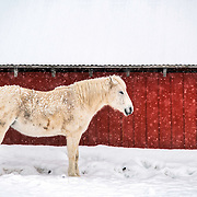 A wintery portrait of a white pony against the backdrop of a red barn.