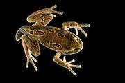 Andean Marsupial tree frog (Gastrotheca riobambae) froglet<br /> CAPTIVE<br /> Central & north Ecuador<br /> ECUADOR. South America<br /> Threatened species due to habitat loss<br /> RANGE: Ecuador<br /> Andean & inter andean valleys north & central Ecuador. 2,200-3,500m.<br /> Endangered declining population
