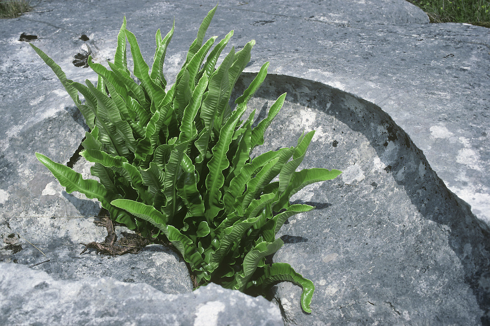 Hartstongue Fern - Phyllytis scolopendrium