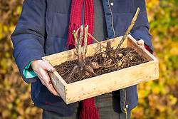 Lifting dahlias tubers and putting in a tray ready for storing over winter in a greenhouse