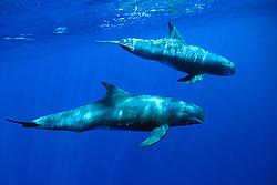 pygmy killer whales, Feressa attenuata, Big Island, Hawaii, Pacific Ocean