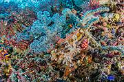 Variable Thorny Oyster (Spondylus varians)<br /> Raja Ampat<br /> West Papua<br /> Indonesia