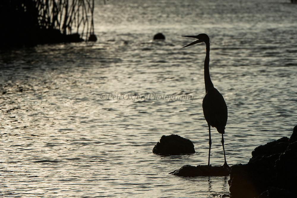 Great Blue Heron (Ardea herodias) Silhouette<br /> Black Turtle Cove<br /> Santa Cruz<br /> Ecuador<br /> South America