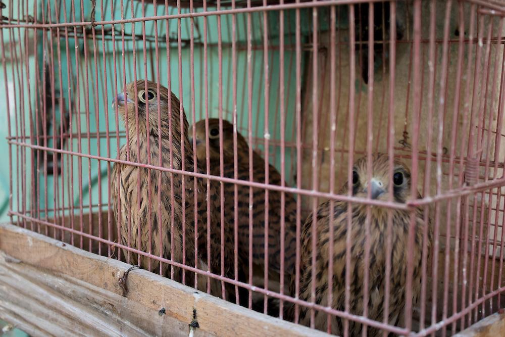 Caged falcons for sale, Bethlehem, Palestine