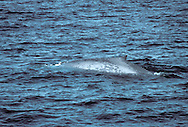 Blue Whale Balaenoptera musculus Length 25-30m World's largest living animal. Feeds on tiny, swarming planktonic crustaceans (krill). Adult has huge, streamlined body; bluish grey overall but mottled with greyish white. Seen just below water surface, body looks very blue. Flippers are relatively small. Single ridge extends from nostrils to tip of rostrum. Throat has 70-90 pleats that allow a huge expansion when feeding. Tail stock is thick and dorsal fin is small and set far back. Decimated by 20th Century whaling and possibly recovering.