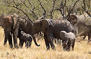 Elephant family, Serengeti