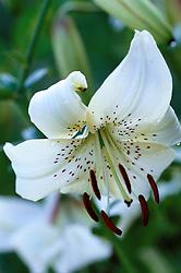 Lilium tigrinum syn. Lilium lancifolium<br /> ? wrong i.d?