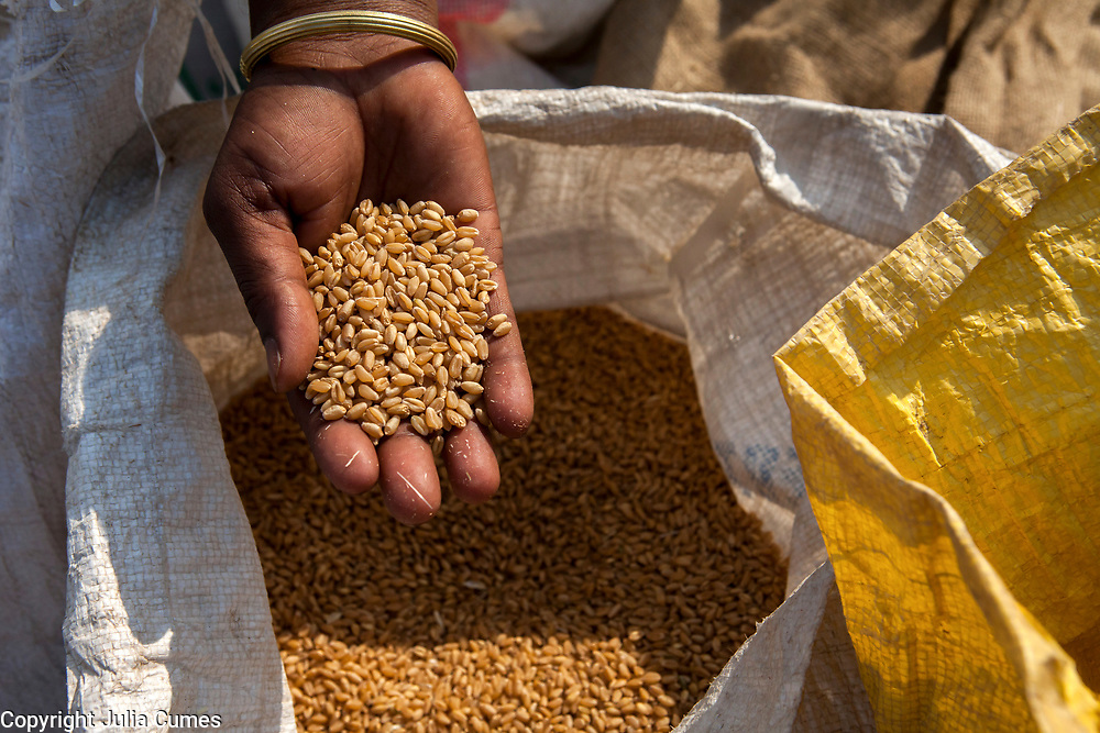 A woman holds out a hand of unprocessed wheat in Bagdi, India.
