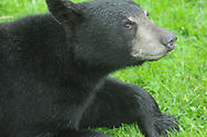 Back bear laying down in the grass in upstate NY.