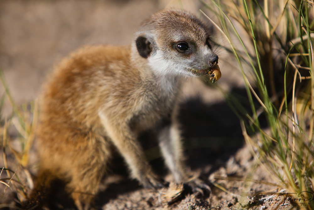 A young meerkat pup (Suricata suricatta) eating a grub during the morning foraging, Makgadikgadi Pan of the Kalahari, Botswana, Africa