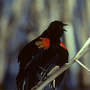Red-winged Black bird, male roosting on cattail reed,singing in marsh.