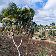 An unusual 3-headed coconut tree on Tongatapu Island, Kingdom of Tonga