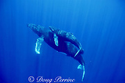 humpback whale mother and calf, Megaptera novaeangliae, Maui, Hawaii, USA (Pacific); caption must include notice that photo was taken under NMFS research permit #882