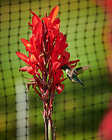 Ruby-throated Hummingbird and Canna. Image taken with a Nikon D850 camera and 70-300 mm VR lens.