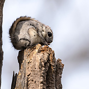 This Japanese dwarf flying squirrel (Pteromys volans orii) snacking on a Japanese alder (Alnus japonica) flower, one of this species' preferred foods.