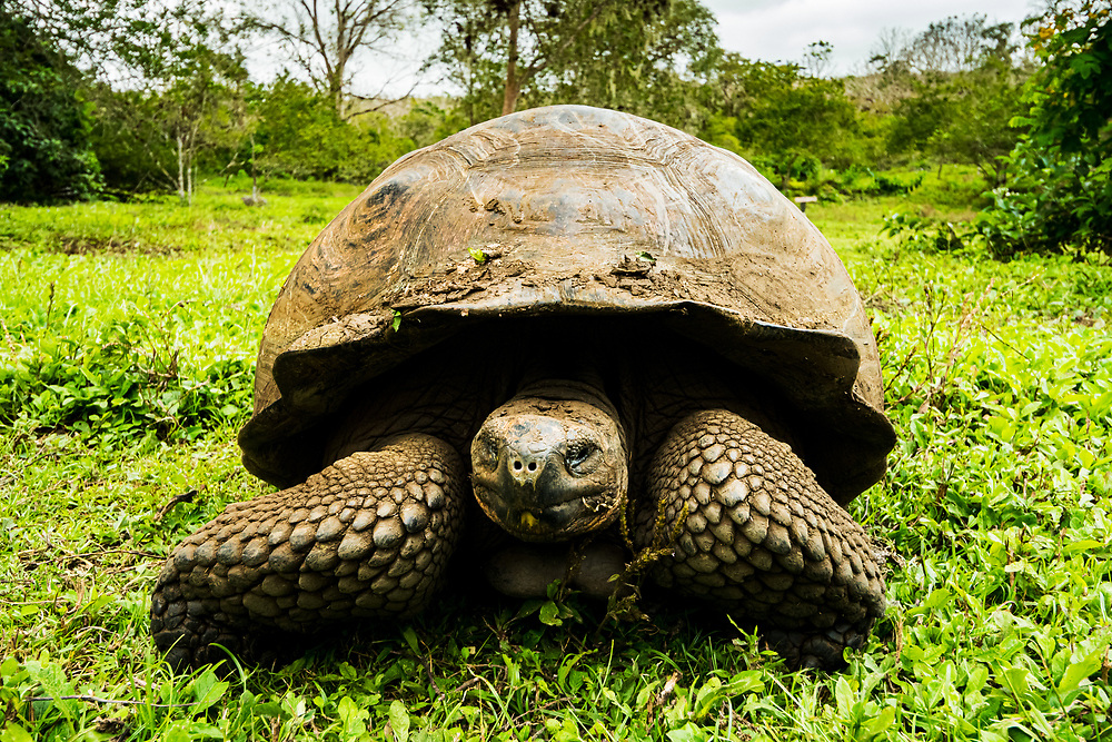 Portrait of a Galapagos giant tortoise, Santa Cruz Island, Galapagos, Ecuador.