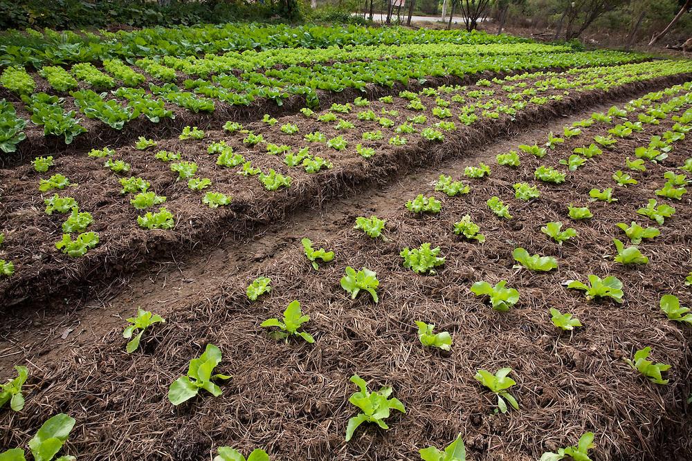 Ribeirao das Neves_MG, Brasil...Cultivo de hortalicas em Riberao das Neves...Vegetables cultivation in Ribeirao das Neves...Foto: LEO DRUMOND / NITRO.