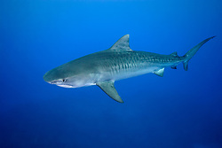 tiger shark, Galeocerdo cuvier, Little Bahama Bank, West End, Grand Bahama, Bahamas, Caribbean Sea, Atlantic Ocean
