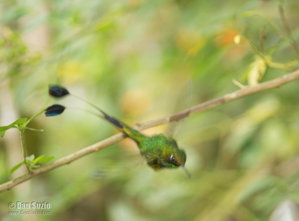 Male booted racket-tail, Ocreatus underwoodii, flying from a branch in Tandayapa Valley, Ecuador