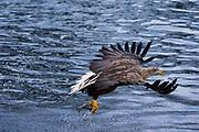 A white-tailed eagle, Haliaeetus albicilla, fishing.