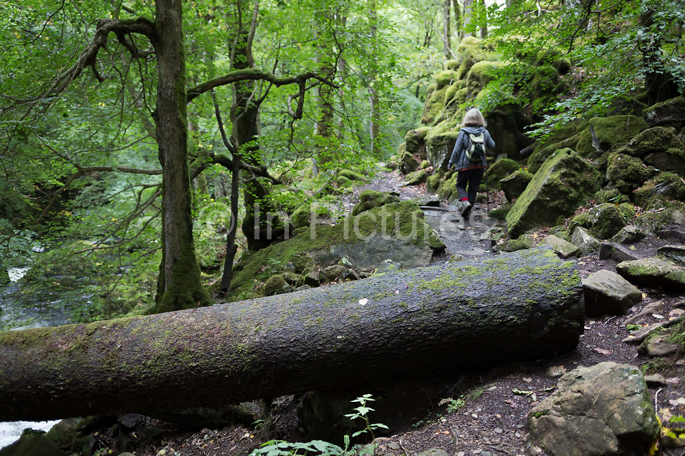 A walker and a fallen tree across the path known as the Torrent Walk along the River Afon Clwedog, on 13th September 2018, in Dolgellau, Gwynedd, Wales.
