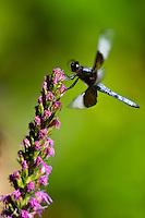 Dragonfly on a lupine flower in a garden, Littleton, Colorado USA