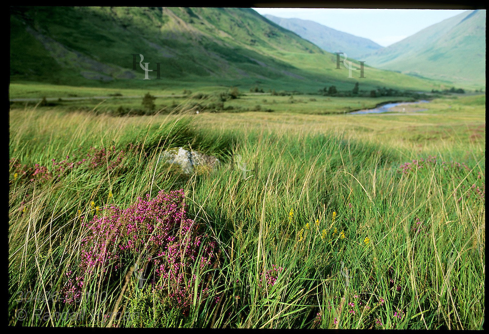 Bouquet of heather blossoms in July in grassy fields of Clachaig Gulley, Harry Potter POA film site; Glencoe, Scotland