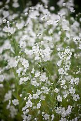 Omphalodes linifolia 'Little Snow White'