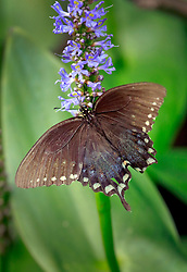 05 June 2014. Jean Lafitte National Historic Park, Louisiana.<br /> A swallowtail butterfly.<br /> Charlie Varley/varleypix.com