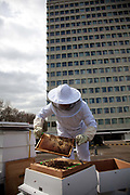 A beekeeper on the roof of the hotel Lancaster London next to Hyde Park. It is early in the season and the beekeeper check on the bees to see if they thrive. Keeping bees is a growing hobby in London and the hives and apiaries can be found in back gardens and roof tops across the capital.