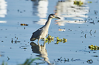 Two Black-crowned night heron (Nycticorax nycticorax) hunting along edge of Lake Chapala, Jalisco, Mexico