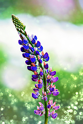 Lupine draws the eye skyward with its gorgeously colored and interestingly structured flower spikes. Bicolor Russell hybrids are the most popular type. Their large pea-like flowers come in amazing colors and combinations, clustered in long spikes on sturdy stems.<br />