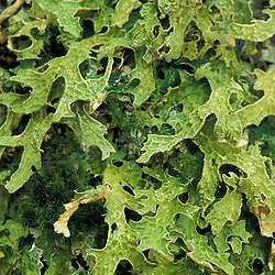 A lichen, Lobaria pulmonaria, on an old sugar maple.  An indicator for late successional hardwood forest.  The Bowl Natural Area. White Mountains, NH.