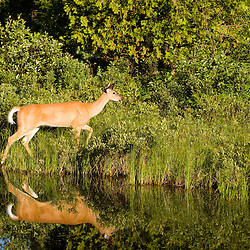 A whitetail deer doe, Odocoileus virginianus, on the shoreline of Katahdin Lake in Maine's Baxter State Park