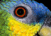 Close-up of the head and eye of an Orange-winged amazon (Amazona amazonia) at the Long Sutton Butterfly and Wildlife Park Lincolnshire