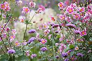 Anemone hupehensis 'Hadspen Abundance', syn. Anemone japonica, Verbena bonariensis