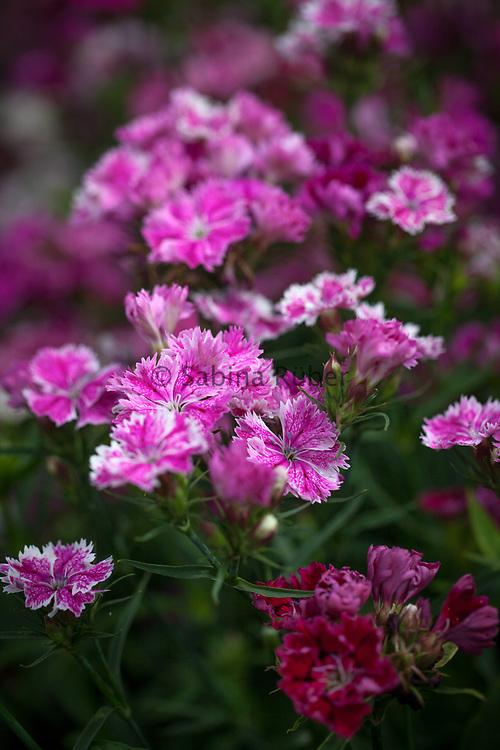 Dianthus barbatus x chinensis - Large Flowering Hybrids