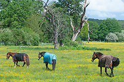 © Licensed to London News Pictures 24/05/2021. Sidcup, UK. Between the rain comes the sun for these three horses grazing in a yellow field of Buttercups in Sidcup, South East London. Photo credit:Grant Falvey/LNP