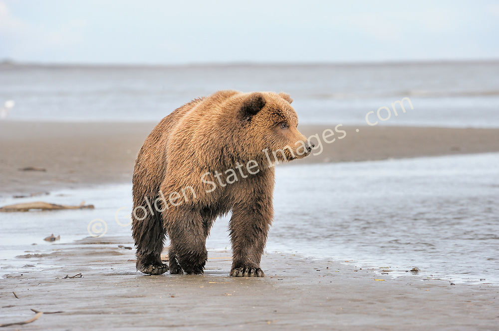 Working the tidal flats at low tide along the creek outlet to the ocean.  <br /> <br /> Brown Bears and Grizzly Bears are the same species. In general Bears living within 50 miles of the coast are considered browns. Animals living further inland are considered Grizzlies.  <br /> <br /> Grizzlies are omnivores feeding on a variety of plants berries roots and grasses in addition to fish insects and small mammals. Salmon are a key part of their diet. Normally a solitary animal they will congregate along streams and rivers during Salmon runs. Weight to over 1200 pounds.    <br />  <br /> Range: Native to Asia Africa Europe and North America. Now extinct in much of their original range.    <br />   <br /> Species: Ursus arctos