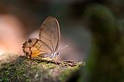 The amber phantom (Haetera piera), a butterrfly in the family Nymphalidae. Amazon rainforest, Brazil.
