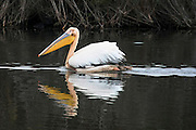 a pelican in the water Israel,