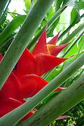 Heliconia Caribea Purpurea, Lyon Arboretum, Manoa Vally, Honolulu, Hawaii