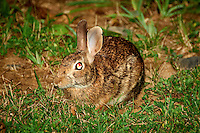 Rabbit with Bloodshot Eyes. Summer Nature in New Jersey. Image taken with a Nikon D700 and 28-300 mm VR lens (ISO 800, 300 mm, f/5.6, 1/60 sec) using the pop-up flash.