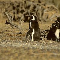 South America, Argentina, Punta Tombo, Chubut Province. Seasonal nesting grounds of the Magellenic Penguins.