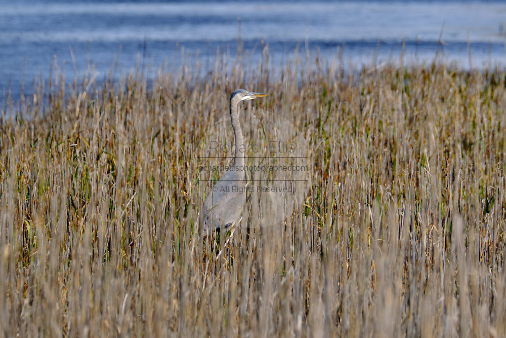 A Great Blue Heron stalks prey in coastal marsh grass at the Bear Island Wildlife Management Area in Green Pond, South Carolina.