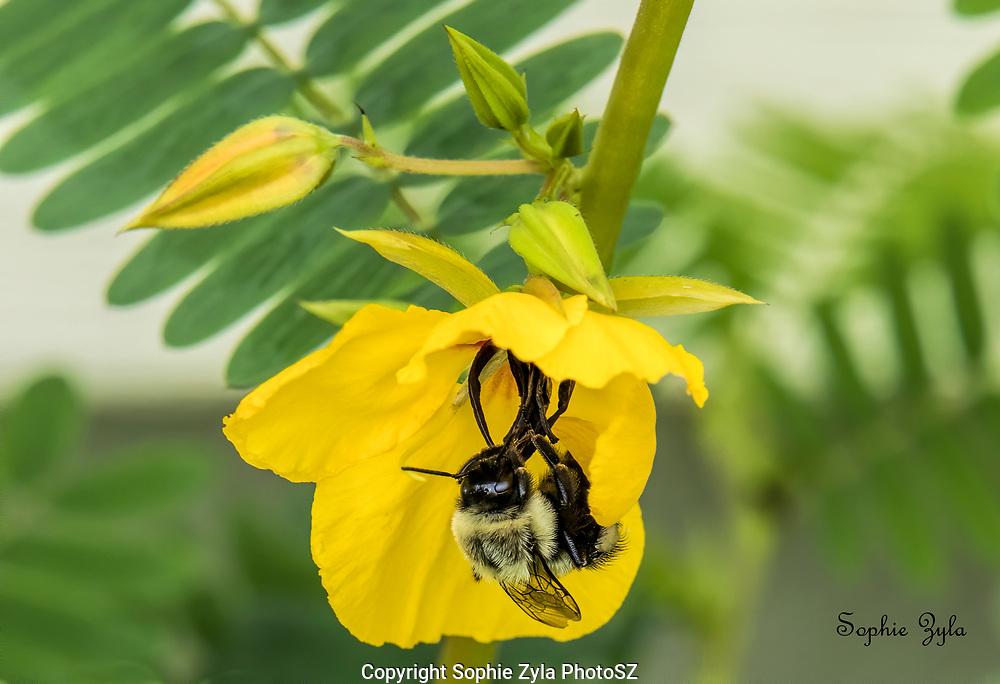 Common Eastern Bumblebee in Partridge Pea