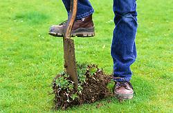 Dividing a perennial (hardy geranium) using a spade<br /> Splitting off sectiions