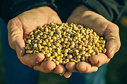 36586 VERSAILLES, Ind. - January 21, 2015. -  <br /> Jim D. Benham, 63, holds a handful of his harvest of non GMO soybeans from this season's harvest on his 1,300 acre farm. Benham is among a small but growing number of Midwestern farmers moving away from biotech seeds developed by companies like Monsanto Co. and DuPont Co. in response to big drops in crop prices over the past two years that have slashed farmers' profits at the same time seed and other farm costs continue to rise.<br /> <br /> William DeShazer for The Wall Street Journal