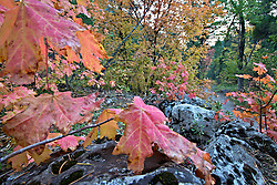 Autumn, Mountain Maple, Palisades Creek Trail, Swan Valley, Idaho