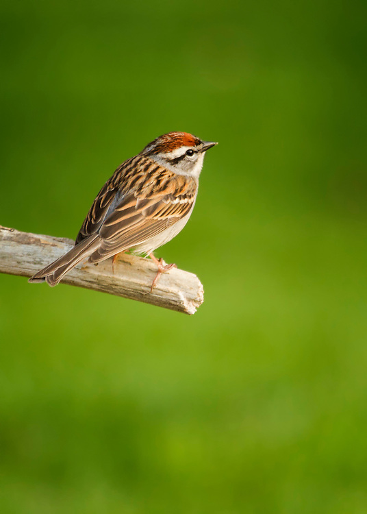 A Chipping Sparrow contrasts on a bright backdrop of green from the woods